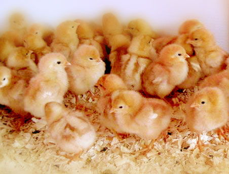 BUY CHICKS :: Newsat Farms   Chicken Turkey and Rabbit